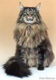 The Maine Coon Cat Breed