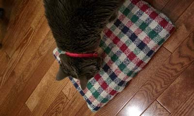 Gray cat in red collar standing on plaid scratching board on wood floor.