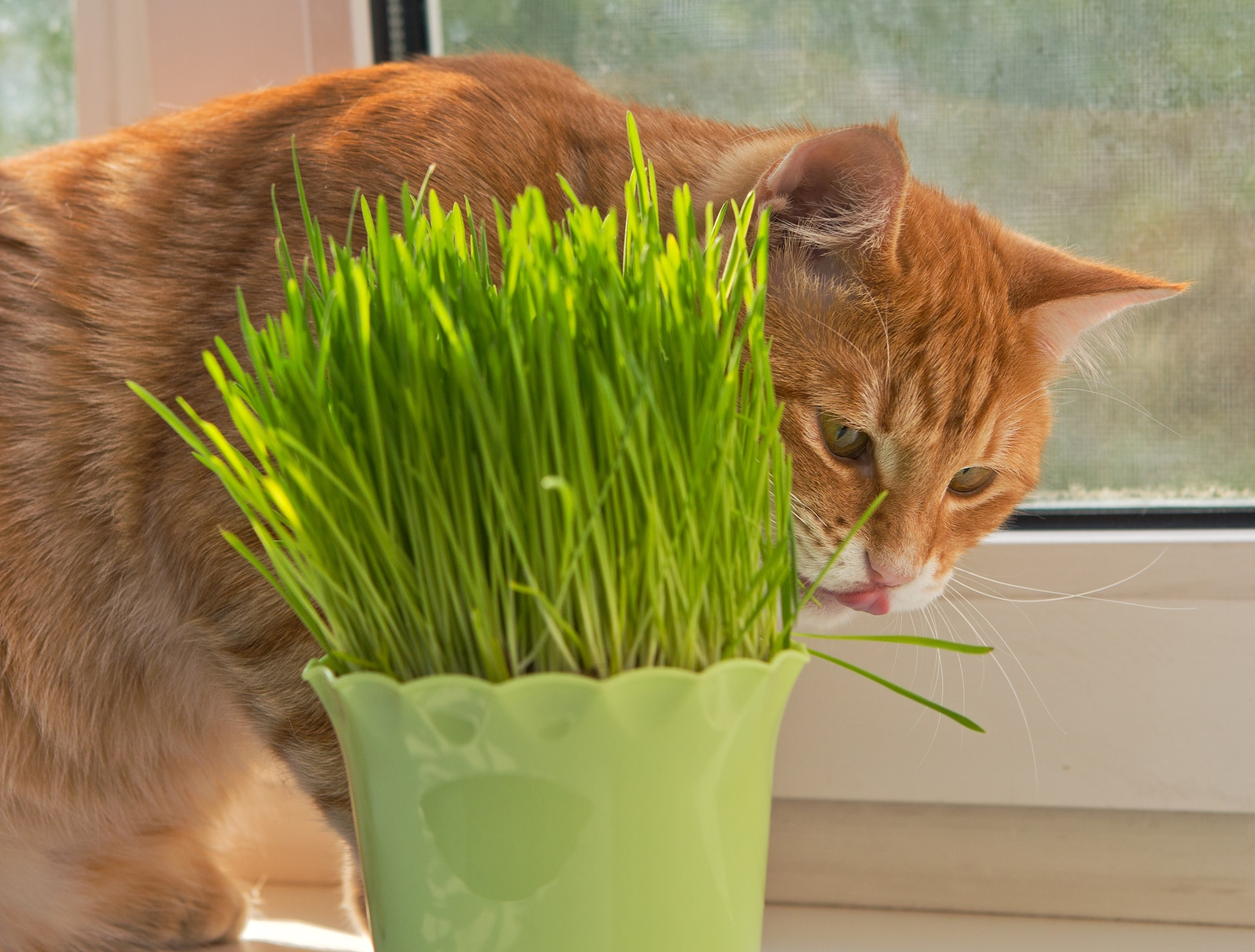 Orange tabby walks behind a vase of cat grass.
