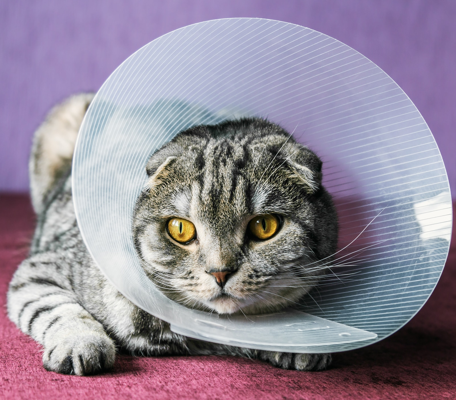 Scottish fold cat in a plastic protective cone