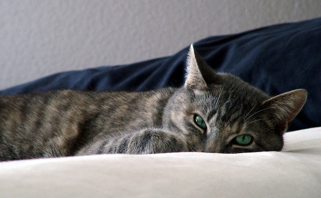 Striped gray cat with green eyes burries head as she lies on a bed