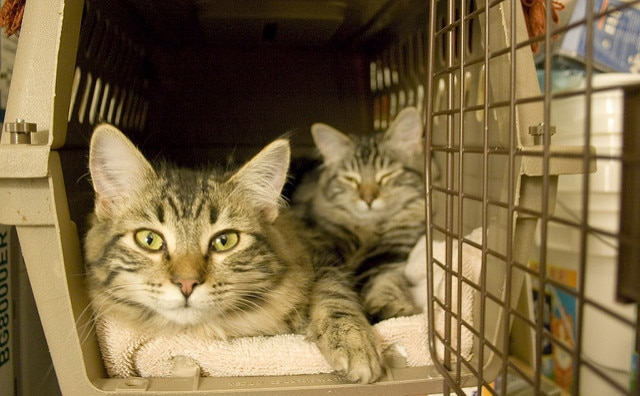 two striped tabby cats on a towel in a cat carrier