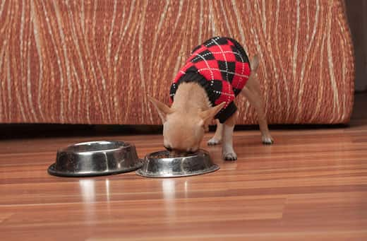 Cinnamon Chihuahua puppy dressed in a black and red argile sweater eating out of a bowl.