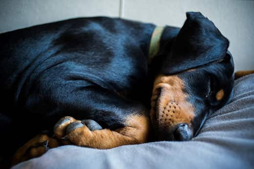Doberman puppy in green collar is sleeping on bed.