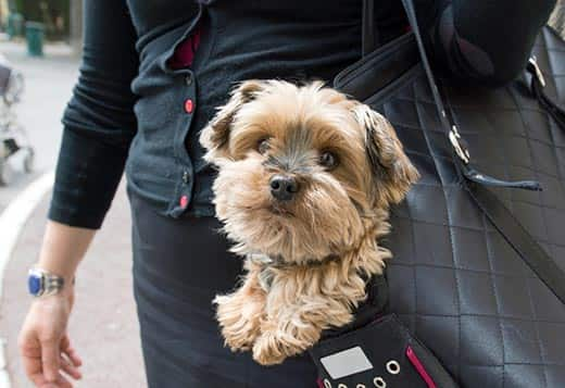 Woman has a dog in black purse