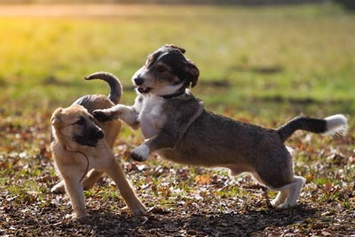 Two puppies playing at the dog park.