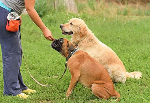 Woman gives a treat to a boxer sitting at the park, while a golden retriever sits next to him.