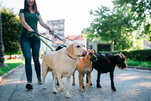 Woman in green t-shirt walks four dogs in a city park.