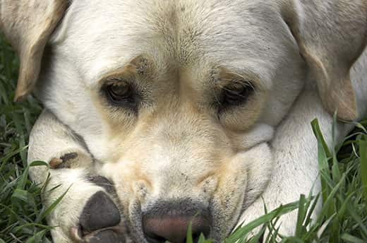 Yellow lab lying down looking sad with pace between paws.