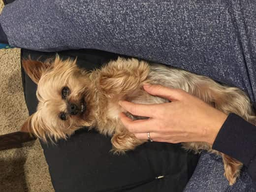 Yorkshire terrier gets belly scratched from a woman while lying in her lap.