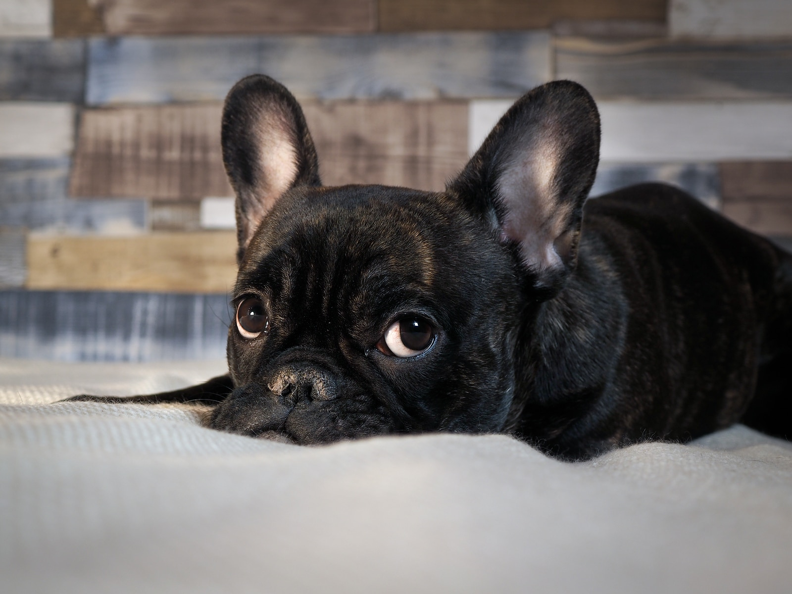 Black French bulldog lying on a bed.