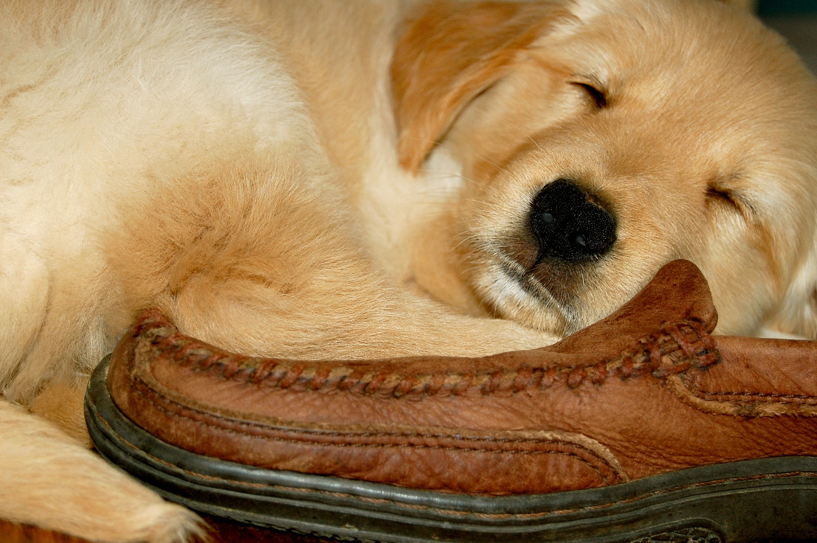 Golden Retriever puppy sleeping on a brown leather loafer.