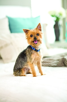 Yorkie in blue collar sitting on a bed