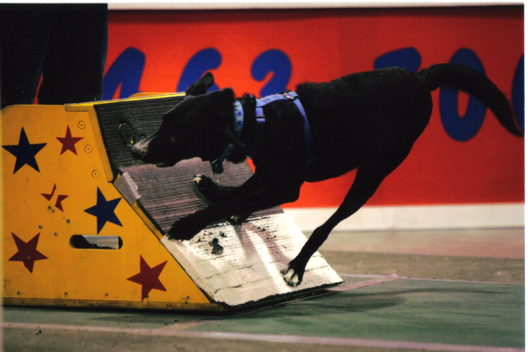 Black dog pushing off a competition wall.