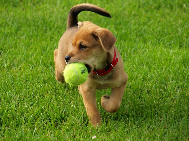 golden-retriever-puppy-with-tennis-ball