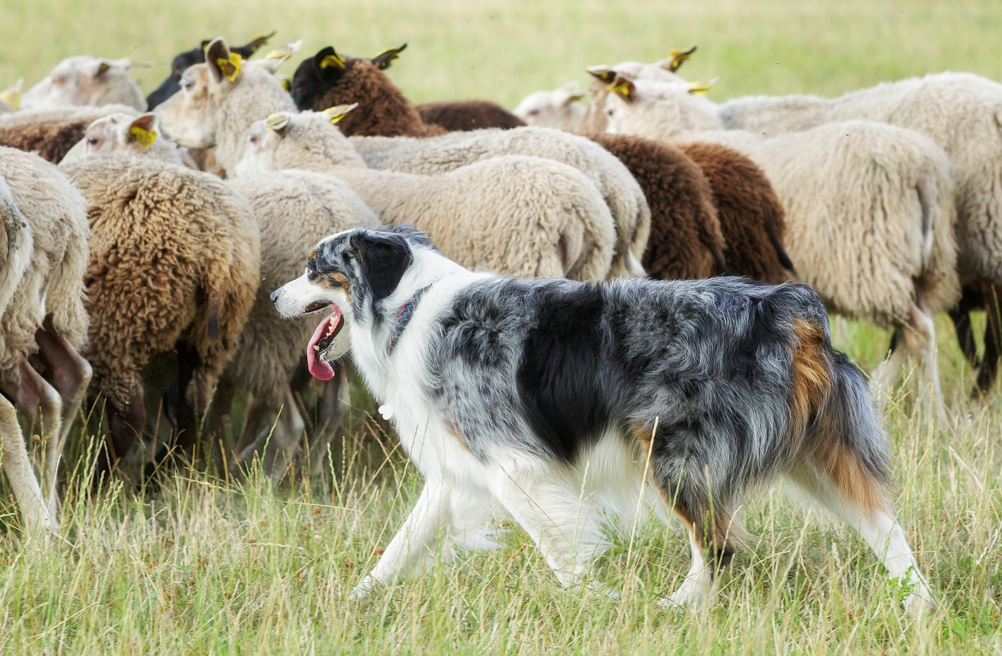 Purebred border collie panting while herding a flock of sheep on a summer day.