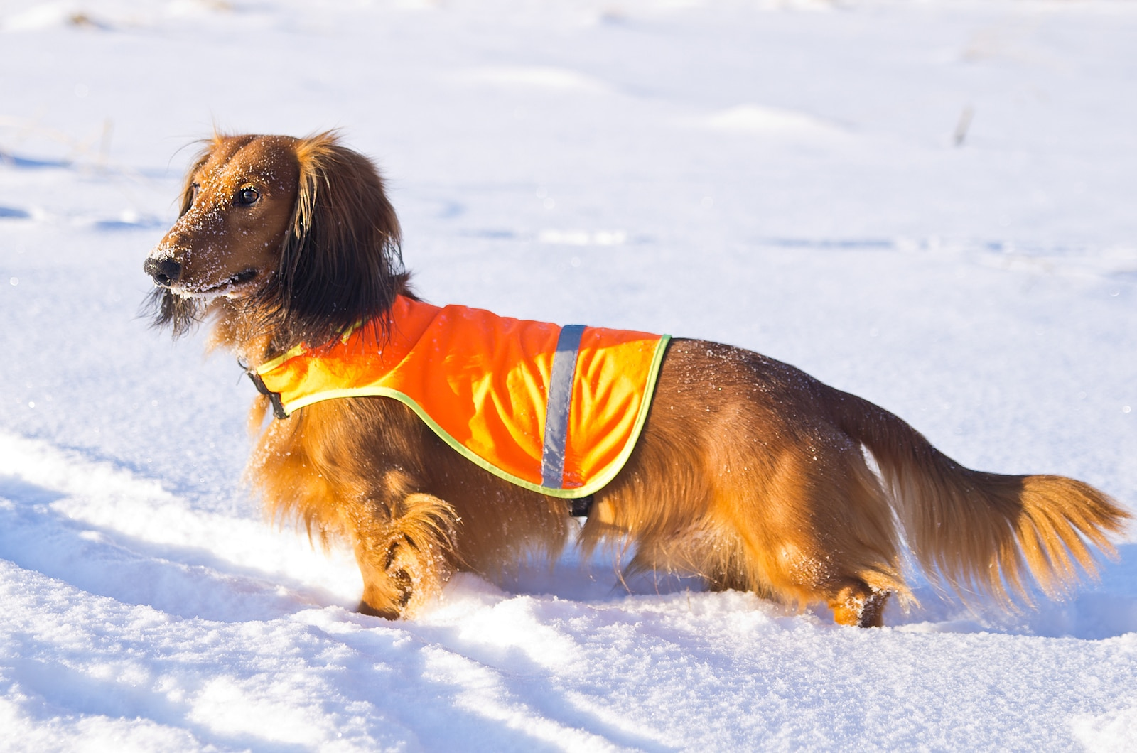 Long-haired Dachshund in orange vest on winter hunting