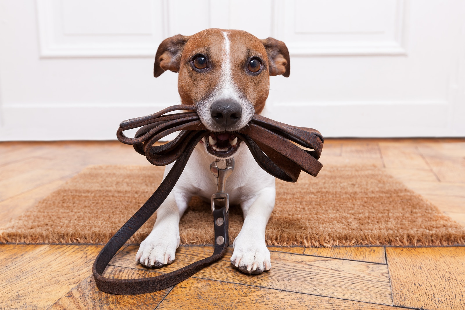 Jack Russell terrier with leather leash in mouth in front of door.