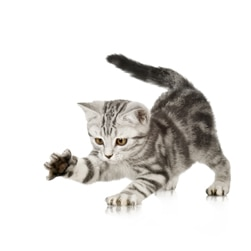 Gray tabby kitten pawing at the air.