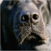 Close up of a black lab's nose.